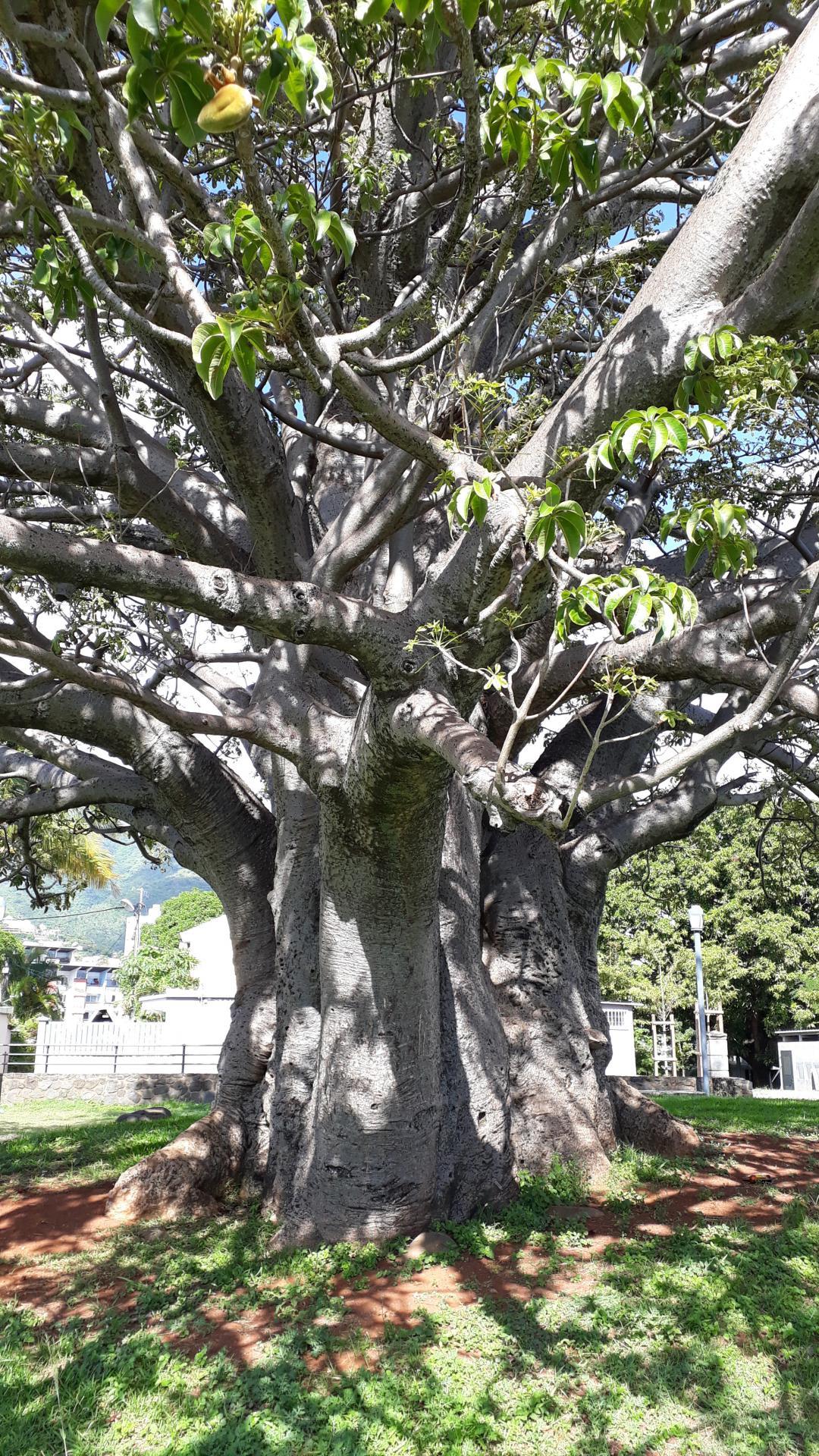 Baobab camélias