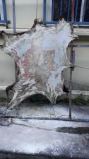 Peau cabri sur cadre 1